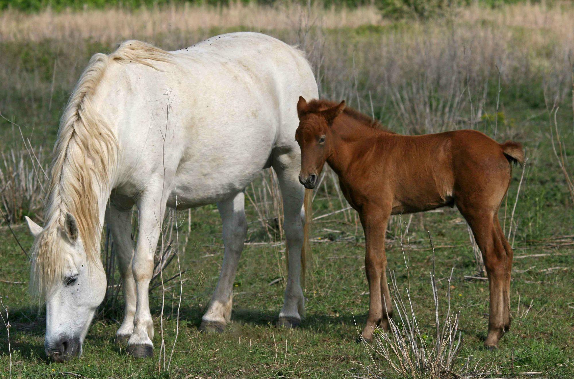 Elevage saint sauveur elevage chevaux de camargue domaine saint sauveur - Coloriage cheval et poulain ...